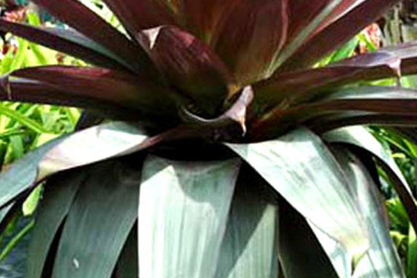 Bromeliad Alcanterea - Accents | ALD Architectural Land Design Incorporated - Naples, Florida