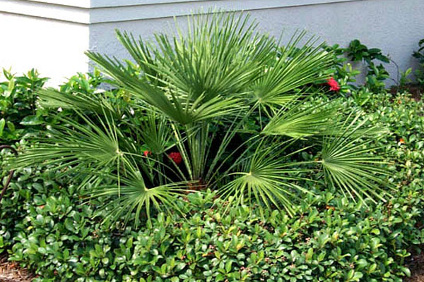European Fan Palm - Accents | ALD Architectural Land Design Incorporated - Naples, Florida