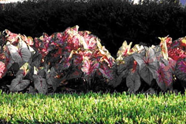Caldium Pink Red - Annuals | ALD Architectural Land Design Incorporated - Naples, Florida