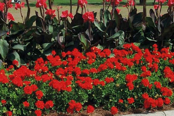 Geranium - Annuals | ALD Architectural Land Design Incorporated - Naples, Florida