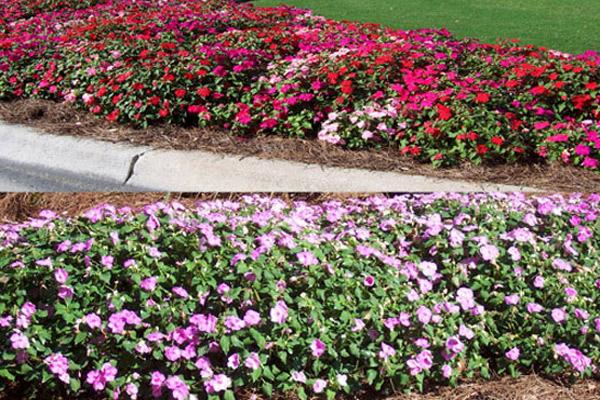 Impatiens Seasonal Mix - Annuals | ALD Architectural Land Design Incorporated - Naples, Florida
