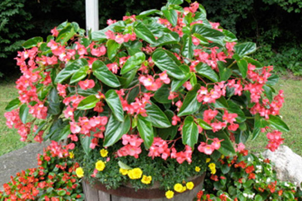 Pink Angel Wing Begonia - Annuals | ALD Architectural Land Design Incorporated - Naples, Florida