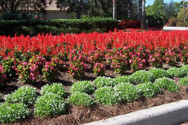 Red Salvia - Annuals | ALD Architectural Land Design Incorporated - Naples, Florida