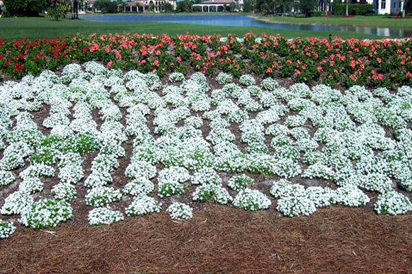White Alyssum - Annuals | ALD Architectural Land Design Incorporated - Naples, Florida