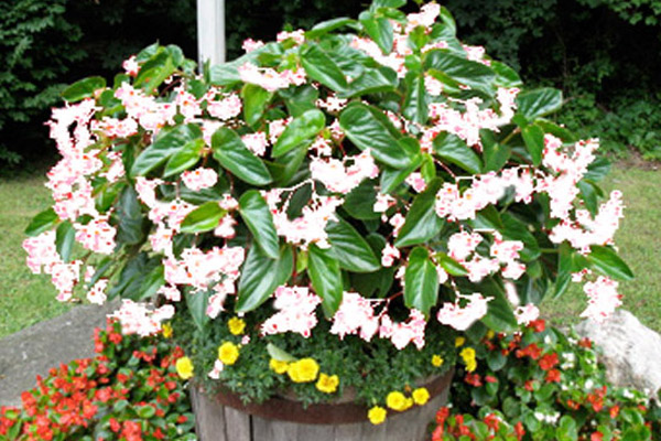 White Angel Wing Begonia - Annuals | ALD Architectural Land Design Incorporated - Naples, Florida