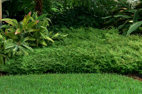 Artillery Fern - Groundcovers and Vines | ALD Architectural Land Design Incorporated - Naples, Florida