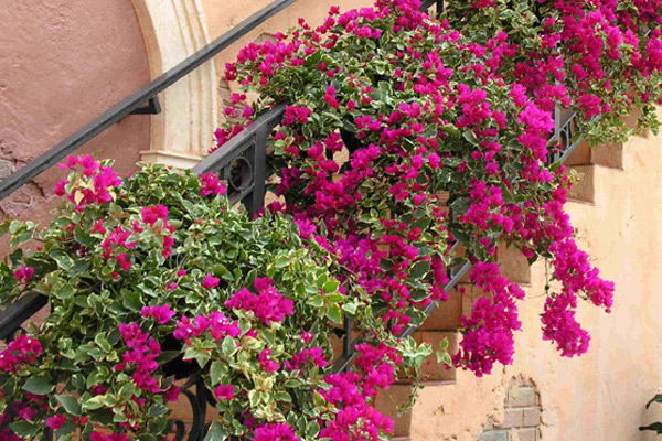 Bougainvillea - Groundcovers and Vines | ALD Architectural Land Design Incorporated - Naples, Florida