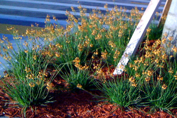 Bulbine - Groundcovers and Vines | ALD Architectural Land Design Incorporated - Naples, Florida