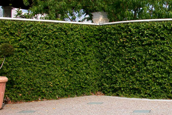 Fig - Groundcovers and Vines | ALD Architectural Land Design Incorporated - Naples, Florida