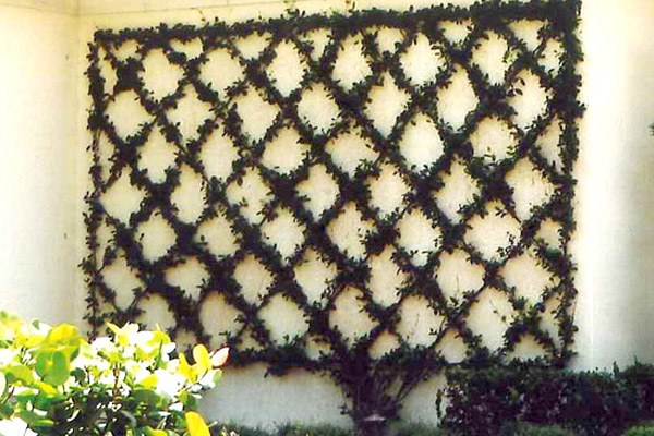 Confederate Jasmine - Groundcovers and Vines | ALD Architectural Land Design Incorporated - Naples, Florida