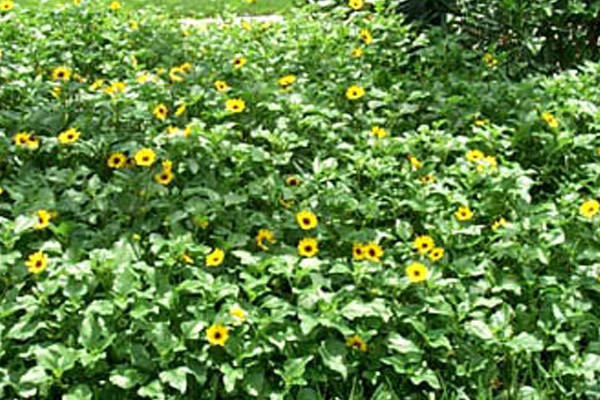 Dune Sunflower - Groundcovers and Vines | ALD Architectural Land Design Incorporated - Naples, Florida