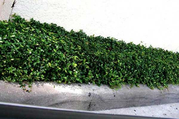 Dwarf Asian Jasmine - Groundcovers and Vines | ALD Architectural Land Design Incorporated - Naples, Florida