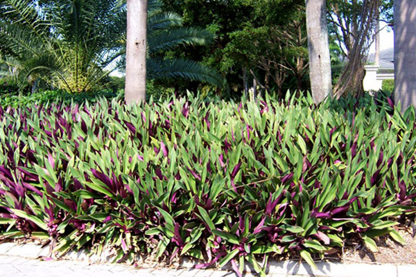 Dwarf Oyster Plant - Groundcovers and Vines | ALD Architectural Land Design Incorporated - Naples, Florida