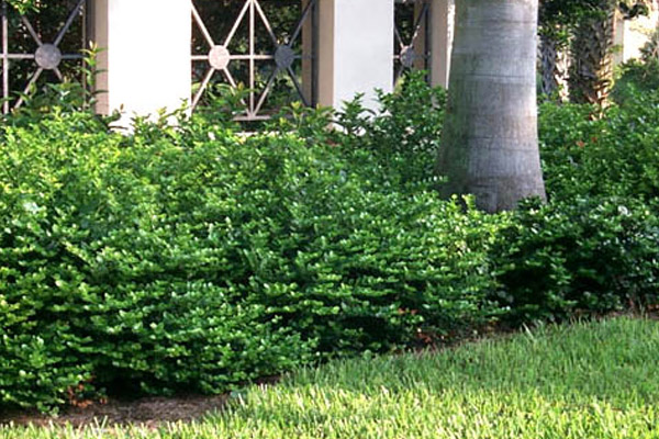 Emerald Blanket - Groundcovers and Vines | ALD Architectural Land Design Incorporated - Naples, Florida