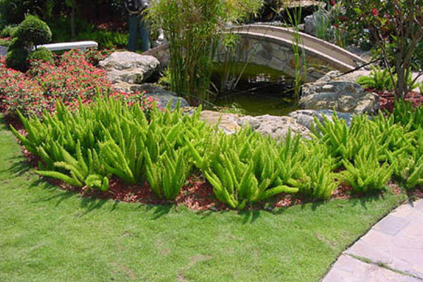 Foxtail Fern - Groundcovers and Vines | ALD Architectural Land Design Incorporated - Naples, Florida