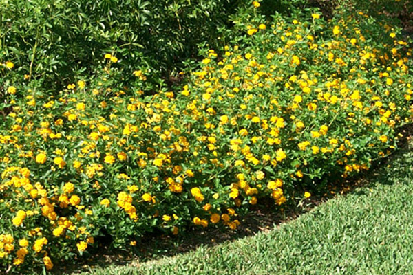 Golden Lantana - Groundcovers and Vines | ALD Architectural Land Design Incorporated - Naples, Florida