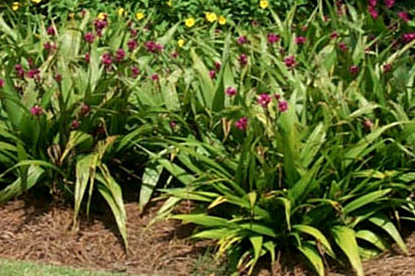 Orchid - Groundcovers and Vines | ALD Architectural Land Design Incorporated - Naples, Florida