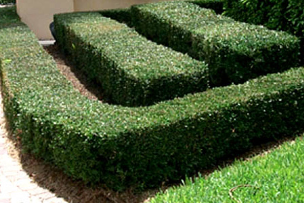 Ilex Schillings - Groundcovers and Vines | ALD Architectural Land Design Incorporated - Naples, Florida