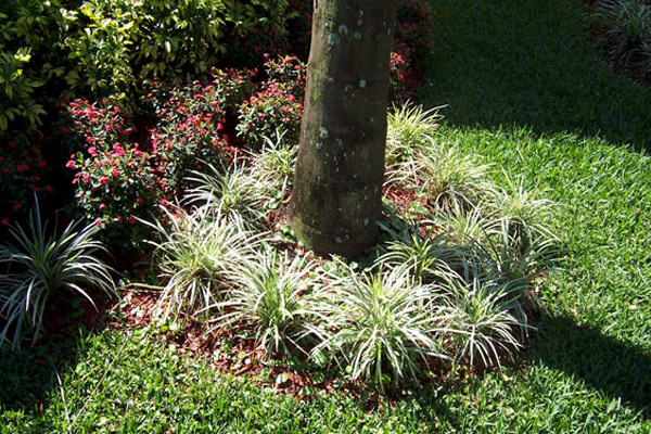 Liriopi Evergreen Giant Variegated - Groundcovers and Vines | ALD Architectural Land Design Incorporated - Naples, Florida