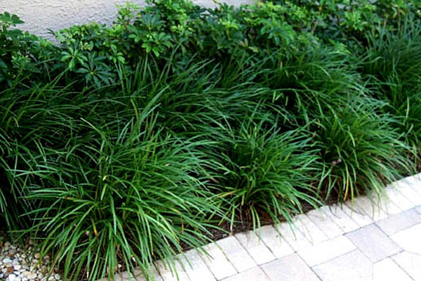 Liriopi Evergreen Giant - Groundcovers and Vines | ALD Architectural Land Design Incorporated - Naples, Florida