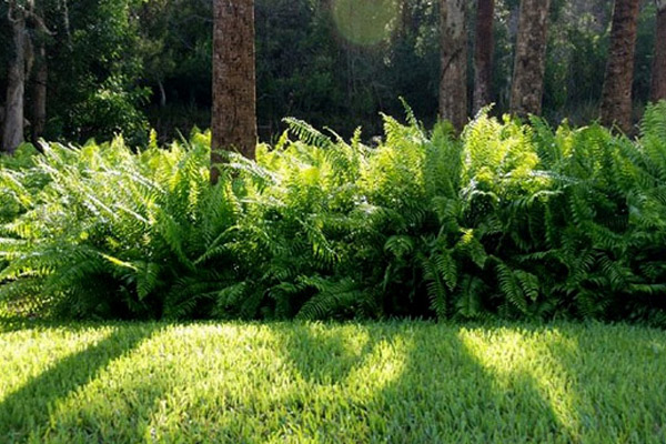 Macho Fern - Groundcovers and Vines | ALD Architectural Land Design Incorporated - Naples, Florida