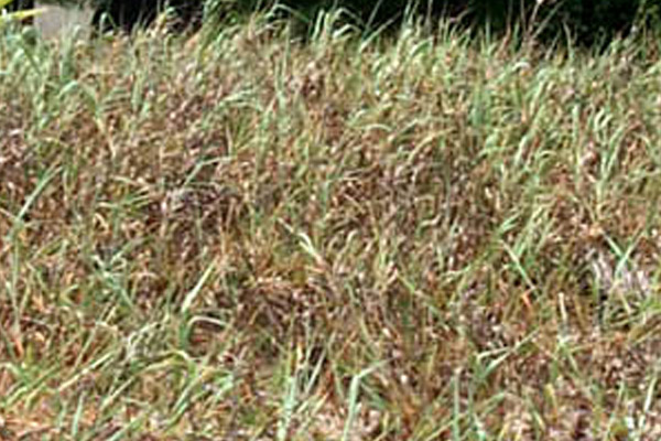 Panic Grass - Groundcovers and Vines | ALD Architectural Land Design Incorporated - Naples, Florida