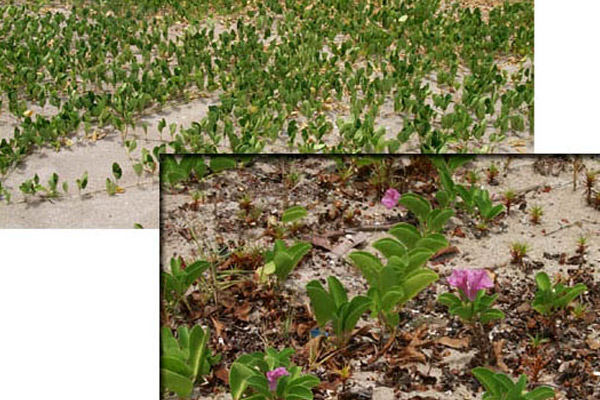 Railroad Vine - Groundcovers and Vines | ALD Architectural Land Design Incorporated - Naples, Florida