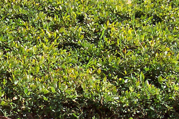 Rhizoma - Groundcovers and Vines | ALD Architectural Land Design Incorporated - Naples, Florida