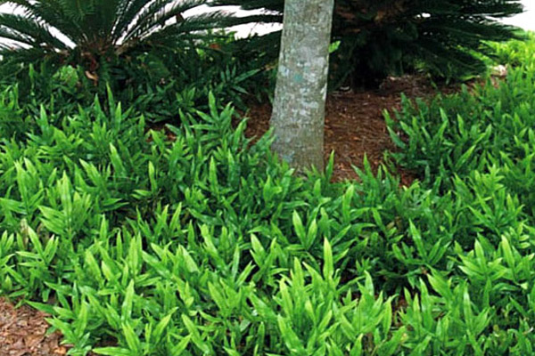 Wart Fern - Groundcovers and Vines | ALD Architectural Land Design Incorporated - Naples, Florida