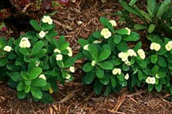 Yellow Dwarf Crown of Thorns - Groundcovers and Vines | ALD Architectural Land Design Incorporated - Naples, Florida