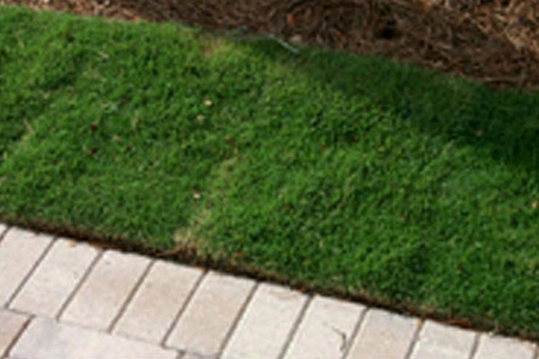 Zoysia Grass - Groundcovers and Vines | ALD Architectural Land Design Incorporated - Naples, Florida