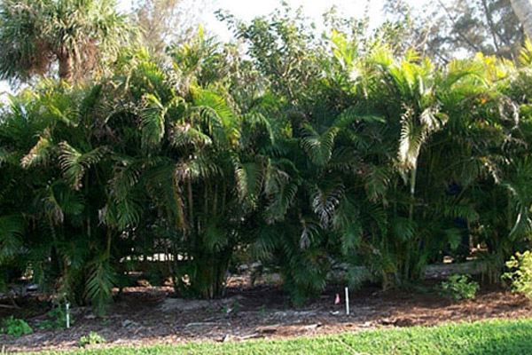 Areca Palm - Palms | ALD Architectural Land Design Incorporated - Naples, Florida