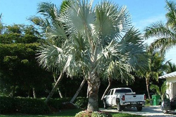Bismark Palm - Palms | ALD Architectural Land Design Incorporated - Naples, Florida