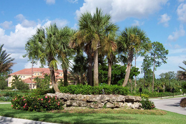 Cabbage Palm Recurved - Palms | ALD Architectural Land Design Incorporated - Naples, Florida