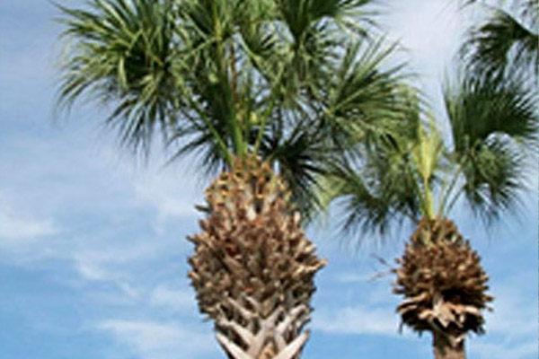 Cabbage Palm - Palms | ALD Architectural Land Design Incorporated - Naples, Florida