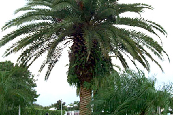 Canary Island Date Palm - Palms | ALD Architectural Land Design Incorporated - Naples, Florida