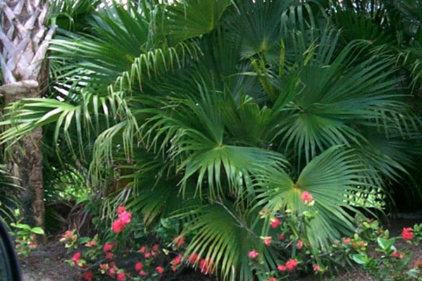 Chinese Fan Palm - Palms | ALD Architectural Land Design Incorporated - Naples, Florida