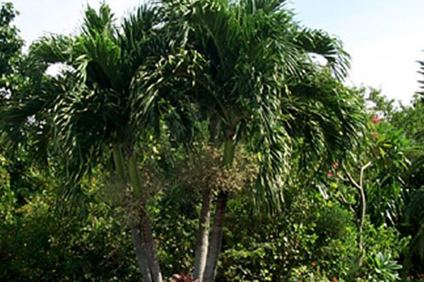Christmas Palm - Palms | ALD Architectural Land Design Incorporated - Naples, Florida