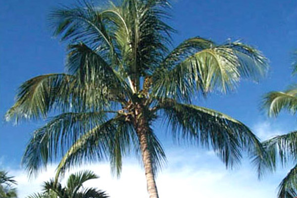 Coconut Palm - Palms | ALD Architectural Land Design Incorporated - Naples, Florida