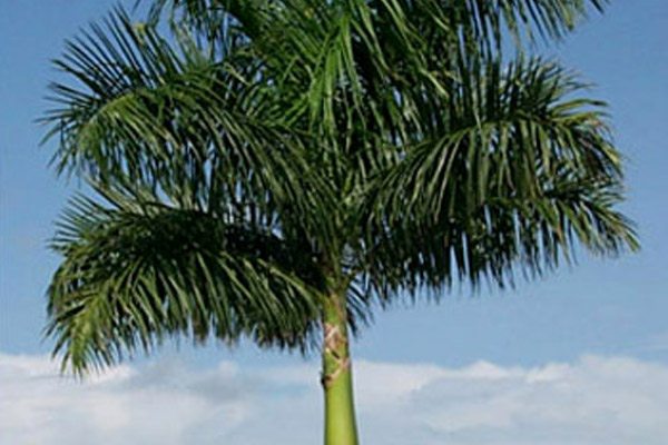 Florida Royal Palm - Palms | ALD Architectural Land Design Incorporated - Naples, Florida
