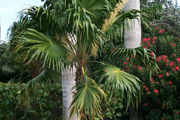 Thatch Palm - Palms | ALD Architectural Land Design Incorporated - Naples, Florida