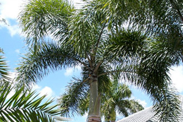 Foxtail Palm - Palms | ALD Architectural Land Design Incorporated - Naples, Florida