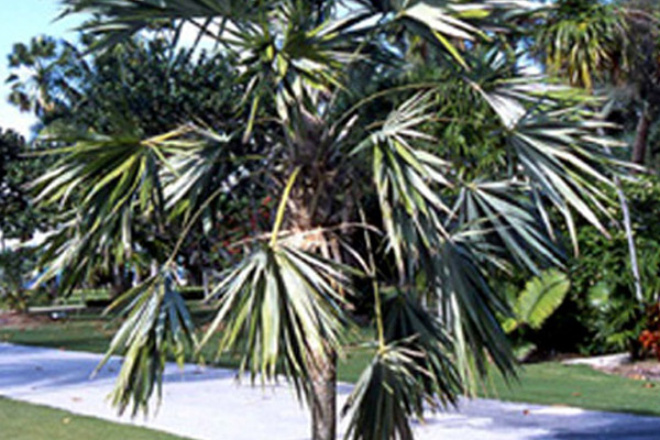 Key Thatch Palm - Palms | ALD Architectural Land Design Incorporated - Naples, Florida