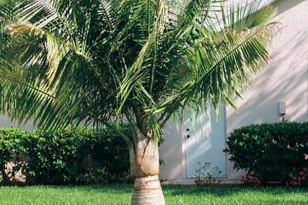 Majesty Palm - Palms | ALD Architectural Land Design Incorporated - Naples, Florida