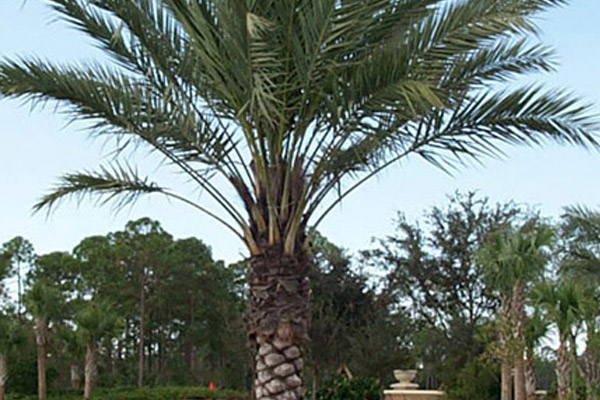 Medjool Palm - Palms | ALD Architectural Land Design Incorporated - Naples, Florida