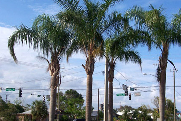 Queen Palm - Palms | ALD Architectural Land Design Incorporated - Naples, Florida