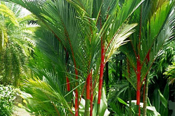 Red Sealing Wax Palm - Palms | ALD Architectural Land Design Incorporated - Naples, Florida