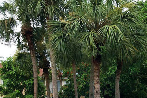 Sabal Palm - Palms | ALD Architectural Land Design Incorporated - Naples, Florida