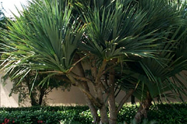 Screw Pine - Palms | ALD Architectural Land Design Incorporated - Naples, Florida