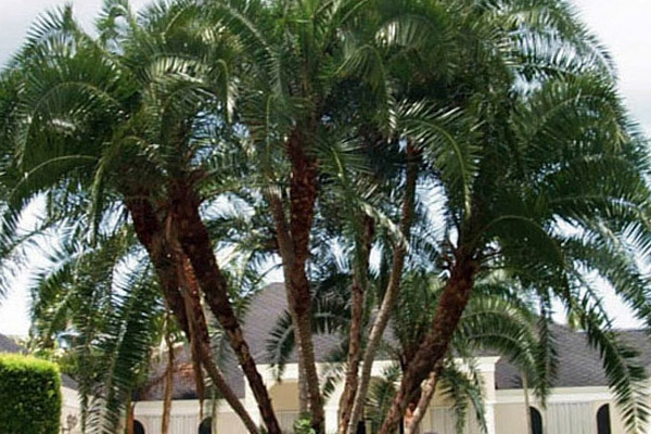 Senegal Palm - Palms | ALD Architectural Land Design Incorporated - Naples, Florida